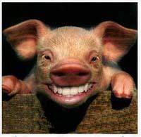 babi lucu