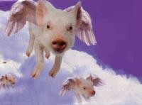 babi terbang