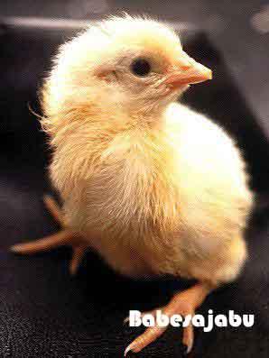 proses-telur-menjadi-ayam14